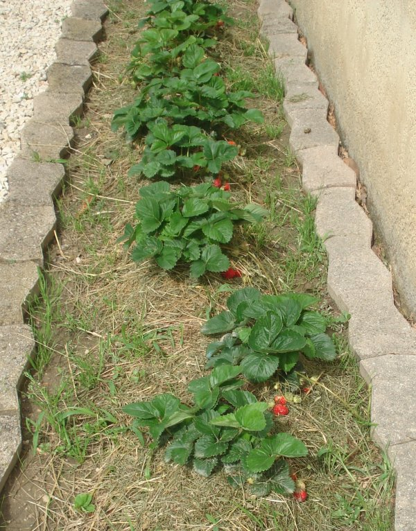 Les fraises !