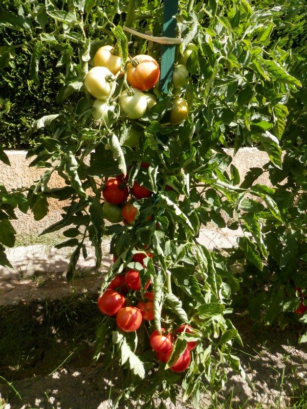 Mes premières tomates !