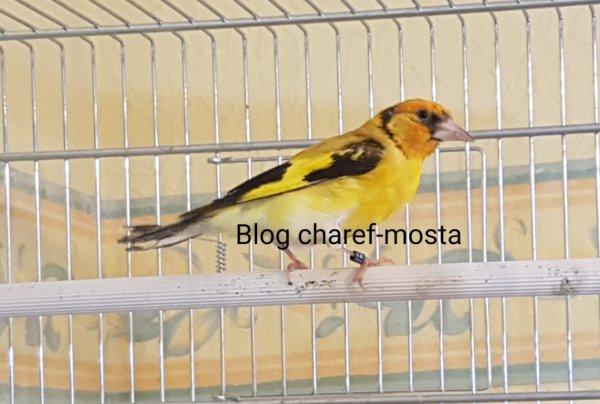 Bismi'allah Mash'allah femelle agate jaune p tète blanche