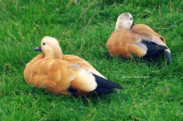 Cygnes , canards, ..