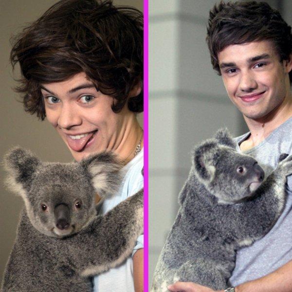 Harry Styles et Liam Payne serait malades à cause d'un koala