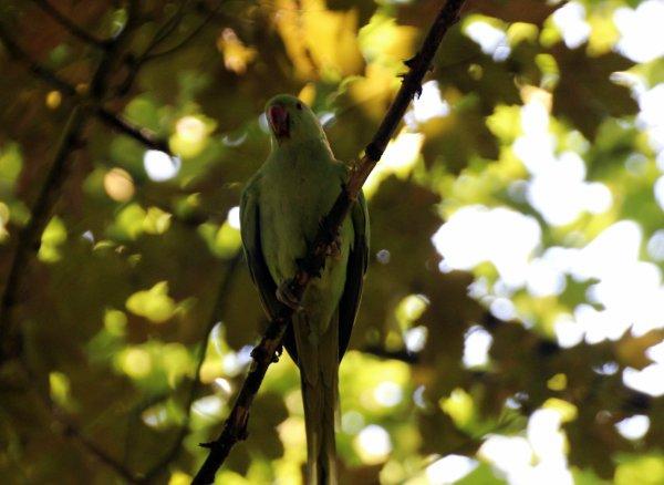 Une colonie de perruche à collier est aussi venue enrichir le parc.