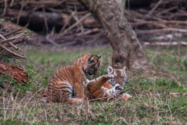 Retour auprès de mes petits tigres où là, j'ai pu observer les trois .