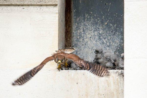 Ce matin j'ai rendu visite à mes petits Faucons qui ont une vingtaine de jours