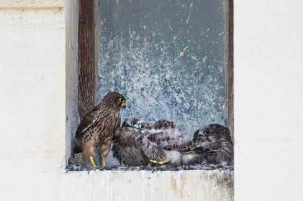Après 13 jours d'absence , je suis allé voir mes petits faucons et j'ai découvert une autre nichée .