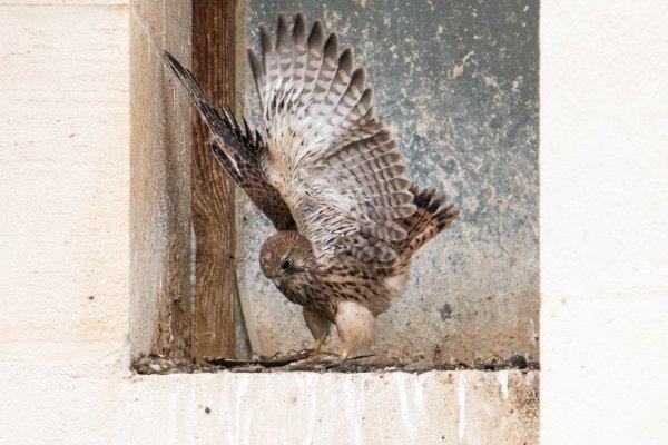 Sortie du nid de mes petits faucons .