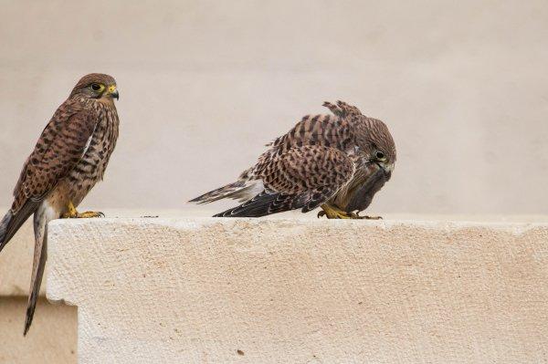 Les petits faucons quittent le nid suite
