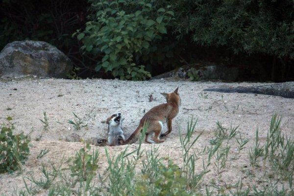 Une journée avec les renardeaux et leur maman.