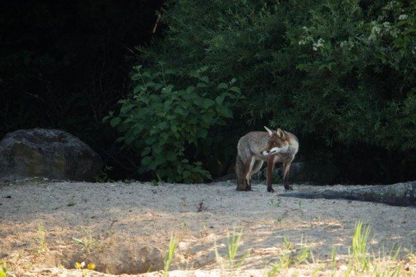 Onze heures avec les renards