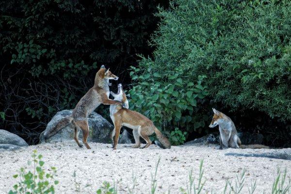 Et une de plus avec les renards , mais le jour se lève de plus en plus tard et les renards n'attendent pas la lumière.