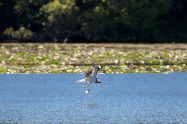 le balbuzard  pêcheur est venu aussi mais à plus de 150 mètres.