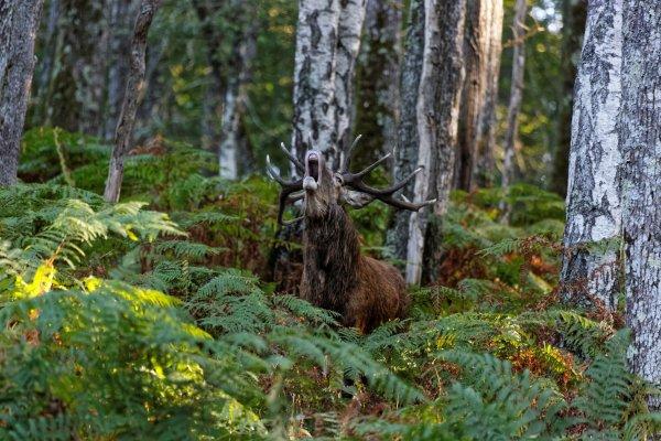 Rendez vous avec les Seigneurs des Bois pour le brame .