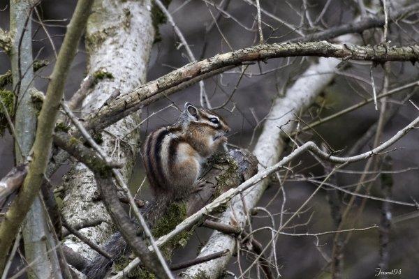 Tamia de Sibérie , plus connu sous le nom d'écureuil de Corée . Le Tamia de Sibérie, un nouveau réservoir pour la maladie de Lyme en Forêt de Sénart.