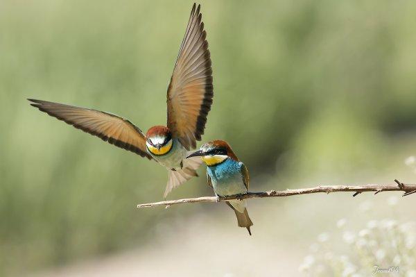 2 Jours avec les Guêpiers et quelques moments de vie de ces beaux oiseaux .