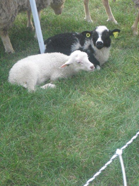 mouton à montréal