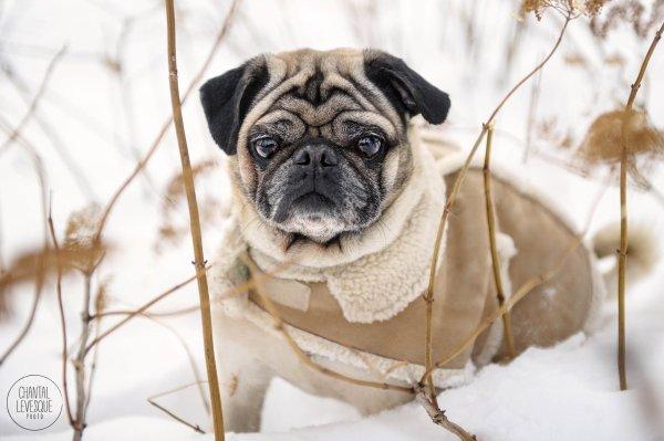 séance photo de mon pug puppy