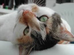 race : chat européen couleur calico / semaine du 1 au 7/8/11