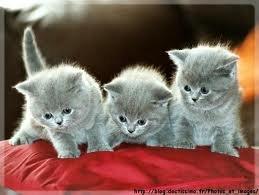 race : chat bleu russe / 3 septembre