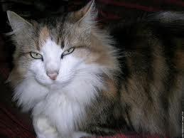 race : chat angora / 6 septembre 2011