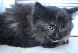 race : chat angora / 7 septembre 2011