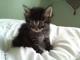 race : chat angora / 8 septembre 2011