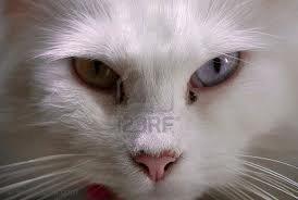 race : chat angora / 10 septembre 2011