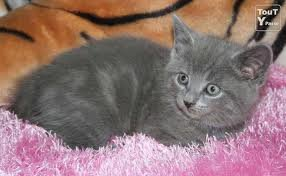 race : chat chartreux / 13 septembre