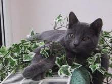 race : chat chartreux / 14 septembre