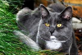 race : chat chartreux / 15 septembre