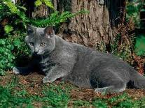 race : chat chartreux / 16 septembre