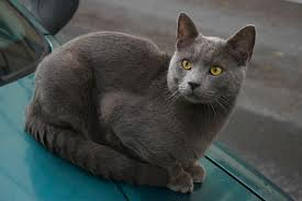 race : chat chartreux / 17 septembre