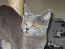 race : chat chartreux / 18 septembre