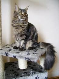 race : chat maine coon  / 21 septembre