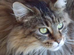 race : chat maine coon / 25 septembre