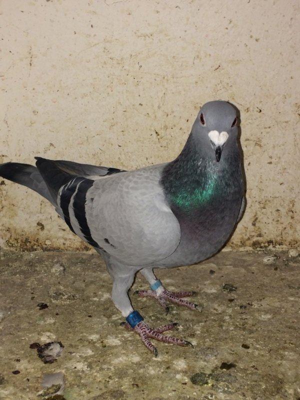 bonjour jais un pigeon anglais qui es la depuis un moment il repart pas je les lacher a 40km pour qu'il repart et il es revenue numero 15737/16 GB.R .si vous avez des amis colombophile anglais qui peut maidé a signalé ce pigeon !!!!