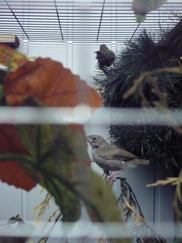 jeunes tiaris bicolore