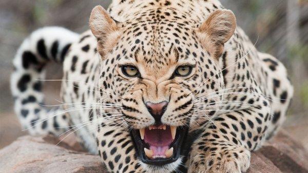 Photo + info: Le léopard