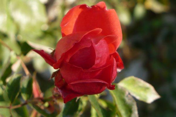 Roses en novembre... Rosier grimpant