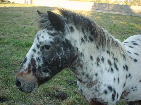 un cheval américain au village