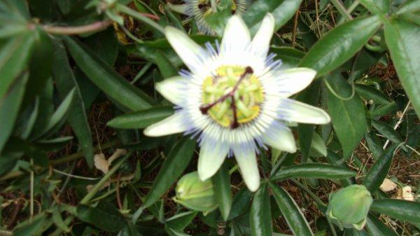 une fleur de la passion