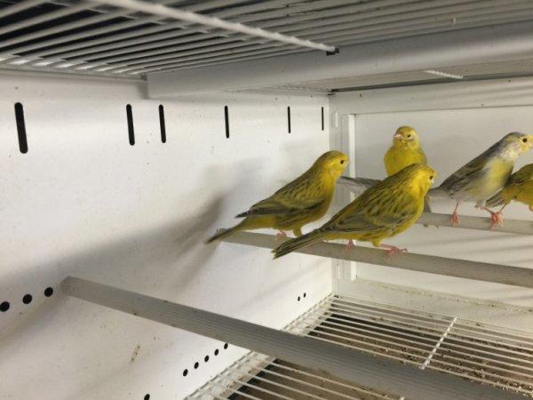 Topaze jaune intensif