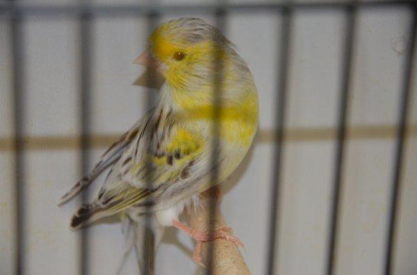 Deux agate topaze mosaique jaune