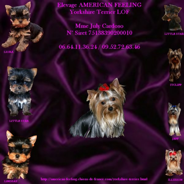 ELEVAGE DE YORKSHIRE TERRIER  - OF AMERICAN FEELING