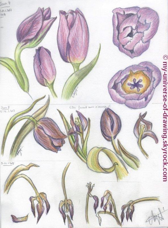 Les Tulipes suite