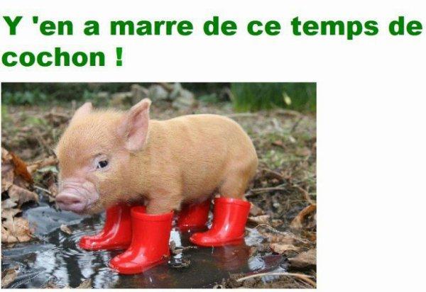 Temps de cochon ...
