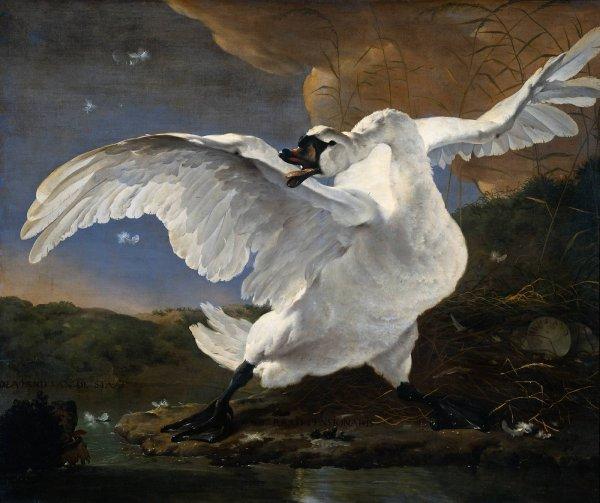 Jan Asselyn ,  peintre hollandais  (1610-1652)    :  le cygne en alerte