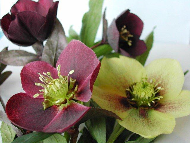 Fleur de saison :  Hellébore  ,  j'aime la fleur et j'aime le mot...