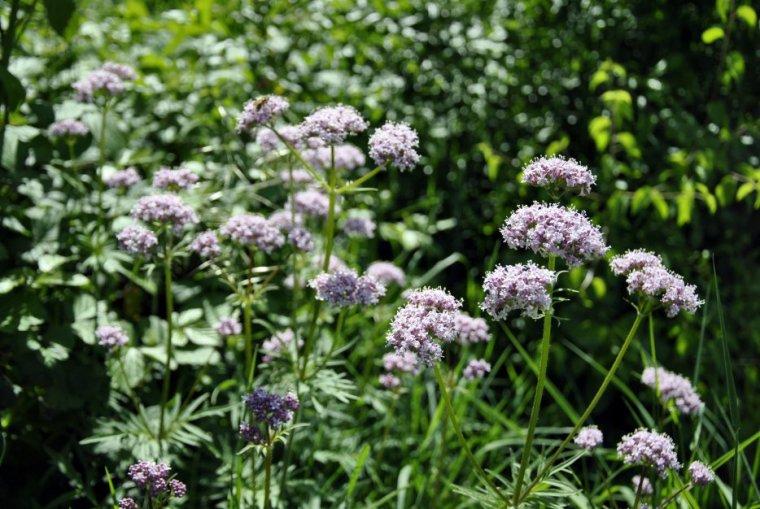 Qui me donnera le nom de cette fleur de sous-bois qui a un parfum merveilleux . . . ? ( photo  Supermomo07 )