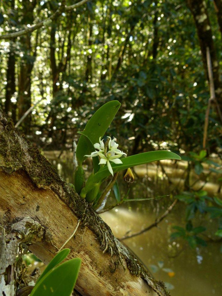 Splendeur guyanaise en provenance du merveilleux blog de Moditbik :  orchidée  Prosthechea aemula  (21 octobre 2014)