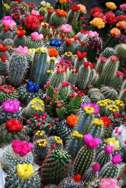 Cactus en fleurs